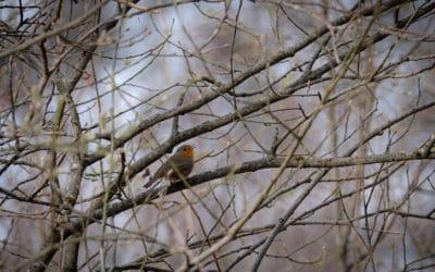 Европейская малиновка или зарянка (Erithacus rubecula) © Olga Vartanyan